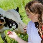 Girl  feeding cow calf with flowers — Stock Photo #42593691