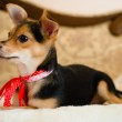 Small cute pinup dog with red ribbon lying in bed looking to the woman closeup picture — Stock Photo #49371407