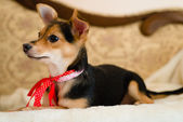 Small cute pinup dog with red ribbon lying in bed looking to the woman closeup picture — Stock Photo