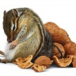 Funny overeating chipmunk with nuts — Stock Photo