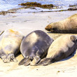 Hugging young male Sea lions at the sandy beach relax - Stock Photo