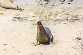 Shouting male sea lion at the sandy beach — Stock Photo