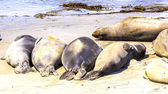 Hugging young male Sea lions at the sandy beach relax — Stock Photo