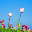 Field with blooming colorful tulips — Stock Photo #12508861