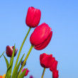 Stock Photo: Field with blooming colorful tulips