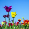 Field with blooming colorful tulips — Stock Photo #12511851