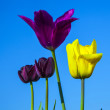 Field with blooming colorful tulips — Foto Stock