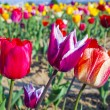 Field with blooming colorful tulips — Stock Photo #12513924