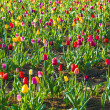 Spring field with blooming colorful tulips — Foto Stock