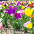 Tulips at the field in summer — Foto Stock