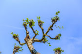 Sycamore tree under blue sky — Stock Photo