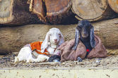 Two goats lying in the garbage — Stock Photo