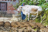 Woman at her farm with cow dung cakes and her cow walking around — Stock Photo