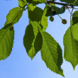 Leaves of a cherry tree with blue sky — Stok fotoğraf