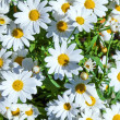 Beautiful daisies in the flower pot — Stok fotoğraf