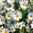 Beautiful daisies in the flower pot — Stock Photo