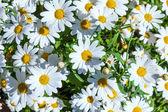 植木鉢に美しいヒナギク — ストック写真
