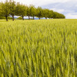 Beautiful pattern of green grain in grainfield — Foto Stock