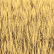 Beautiful pattern of golden grain — Stok fotoğraf