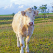Portrait of nice brown cow in a field — Stock Photo #12834598