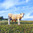 Portrait of nice brown cow in a field — Stock Photo