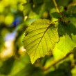 Leaves of a tree in detail - Stock Photo