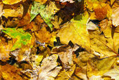 Golden leaves in autumn at the street — Stock Photo