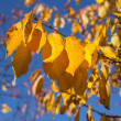 Stock Photo: Golden autumn leaves hanging at the tree with blue sky