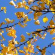 Golden autumn leaves hanging at the tree with blue sky — Zdjęcie stockowe