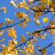 Golden autumn leaves hanging at the tree with blue sky — Stockfoto