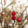 Red rose hip under blue sky — Stock Photo