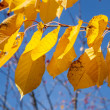 Foto de Stock  : Yellow autumn leaves hanging at the birch tree