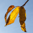 Stok fotoğraf: Yellow autumn leaves hanging at the birch tree