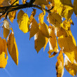 Yellow autumn leaves hanging at the birch tree — Стоковая фотография