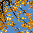 Yellow autumn leaves hanging at the tree — Foto Stock