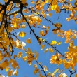 Yellow autumn leaves hanging at the tree — Stock fotografie