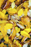 Yellow orange autumn leaves lying in the faded foliage — Stock Photo
