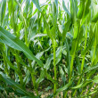 Indian corn grows at the field — Stockfoto #14206077