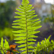 Fern in sunlight in the forest — Stock Photo