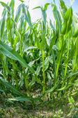 Indian corn grows at the field — Stock Photo