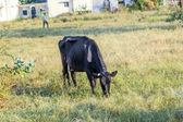 Cows grazing on the meadow — Stok fotoğraf