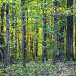 Harmonic pattern of oak trees in the forest — Stock Photo
