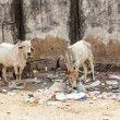 Sacred Cow in India feeding on garbage  — Stock Photo