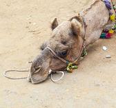 Zmęczony wielbłąda leżącego na ziemi — Zdjęcie stockowe