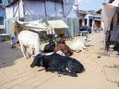 Cows resting at the street — Foto de Stock