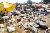 Goats for selling at the bazaar — Stock Photo