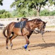 Stock Photo: Brown horse is trained by lunge