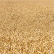 Ripe yellow ears of wheat — Stock Photo #16839551