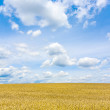 Corn field under blue sky — Lizenzfreies Foto