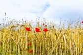Poppy flowers with blue sky and clouds on the meadow — Stock Photo